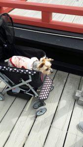 כלב ביפן